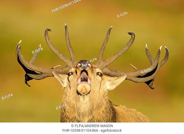 Red Deer (Cervus elaphus) mature stag, close-up of head, roaring, during rutting season, Bradgate Park, Leicestershire, England, October