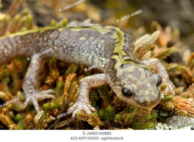 Long-toed salamander, Ambystoma macrodactylum, British Columbia, Okanagan, Canada