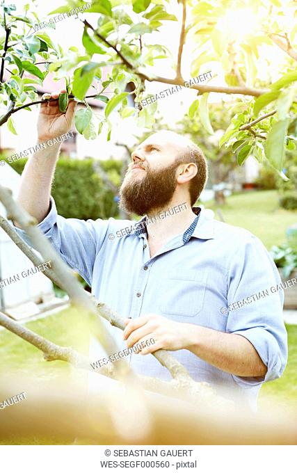 Young man checking knosps on apple tree in garden