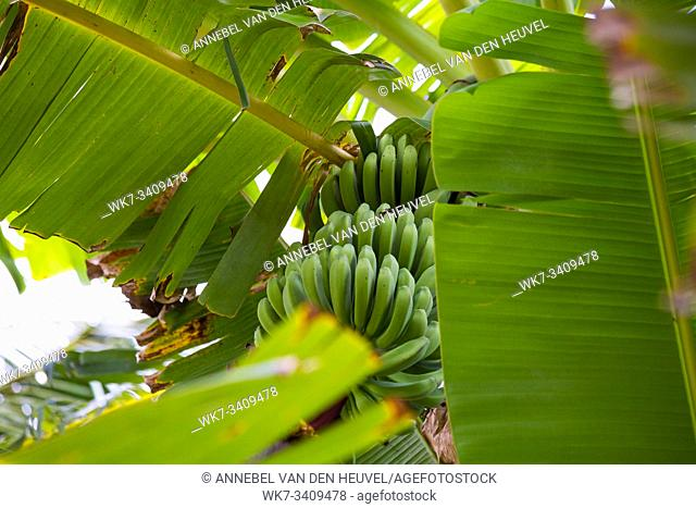 Green banana bunch in tree in the jungle close-up, unripe nature