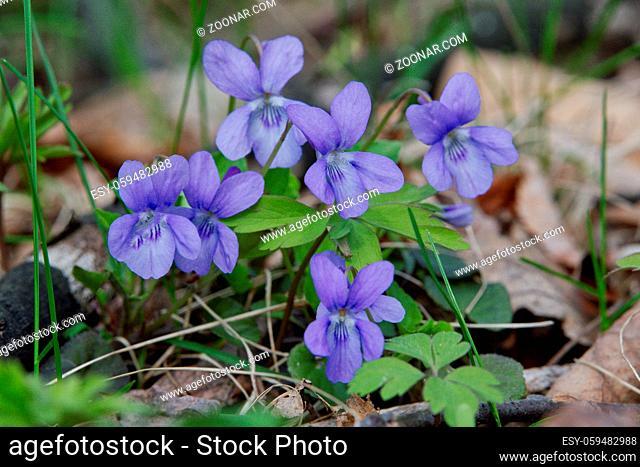 Pale wood violet (Viola reichenbachiana) in a wild nature