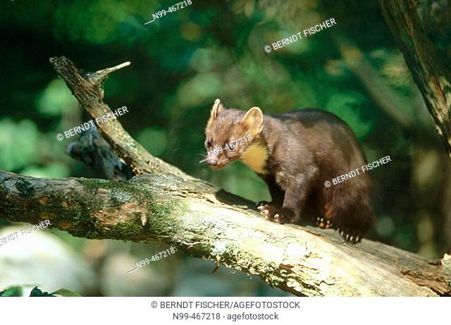 Pine marten (Martes martes) walking over a branch, summer. National Park Bavarian Forest. Germany