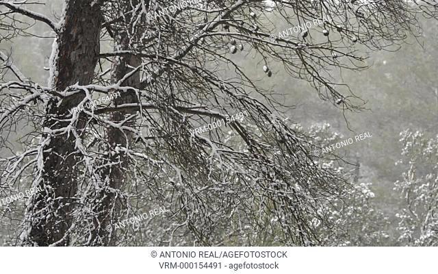 Snow blizzard in the forest. Almansa Albacete