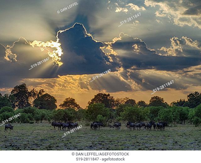 Botswana. Wildebeest Herd