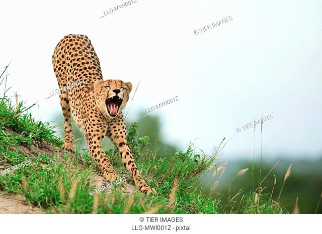 Female cheetah Acinonyx jubatus, waking up with a stretch and a yawn
