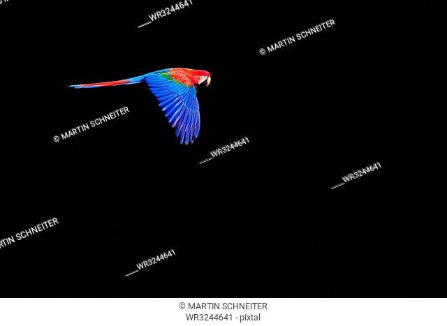 Flying red and green macaw (Ara Chloropterus), Buraco Das Araras, Pantanal, Mato Grosso do Sul, Brazil, South America
