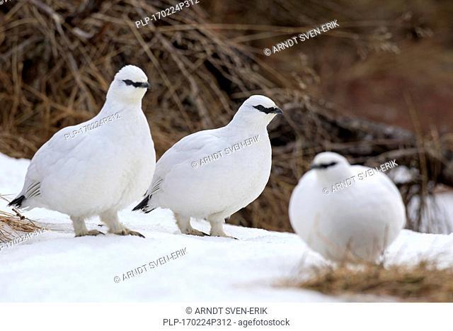 Three rock ptarmigans (Lagopus muta / Lagopus mutus) in winter plumage