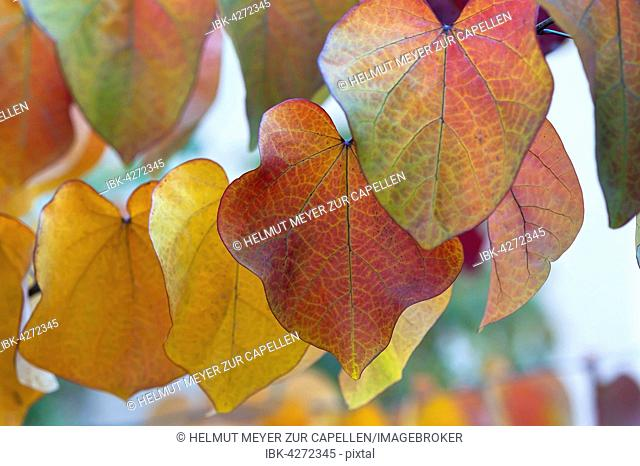 Leaves in autumn colors, Judas tree (Cercis siliquastrum), Forest Pansy variety, Bavaria, Germany