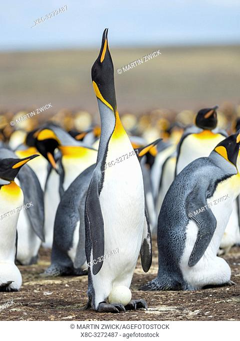 Egg being incubated by adult while balancing on feet. King Penguin (Aptenodytes patagonicus) on the Falkland Islands in the South Atlantic