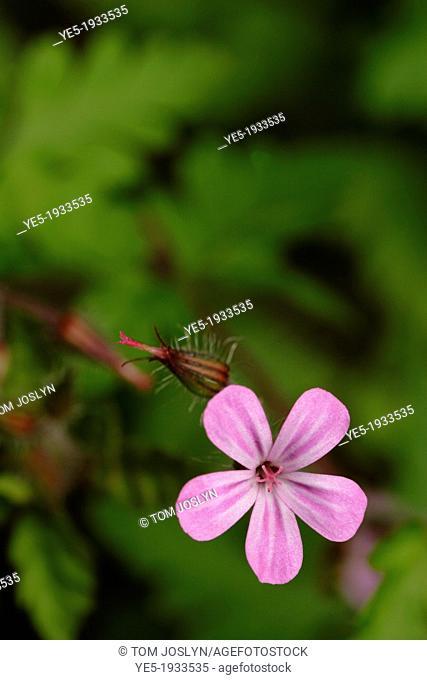 Herb Robert (Geranium robertianum) flower close up, England, UK
