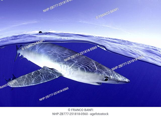 Split image of Blue shark, Prionace glauca close to the surface, Pico Island, Azores, Portugal, Atlantic Ocean
