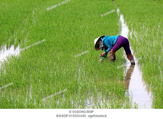 Vietnamese farmer working in her rice field. Transplanting young rice. Hoi An. Vietnam
