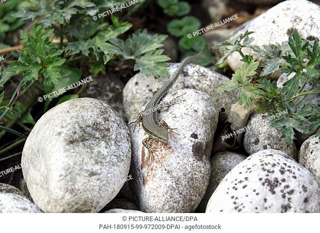 19 August 2018, Baden-Wuerttemberg, Oberkirch: 19 August 2018, Germany, Oberkirch: A wall lizard (Podarcis muralis) passes over stones