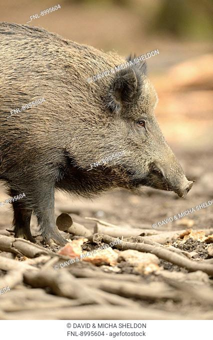 Wild boar (Sus scrofa) in Bavarian Forest National Park, Germany