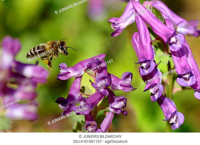 Honey Bee (Apis mellifica, Apis mellifera). Worker in flight above Fumewort (Corydalis solida) flowers Germany