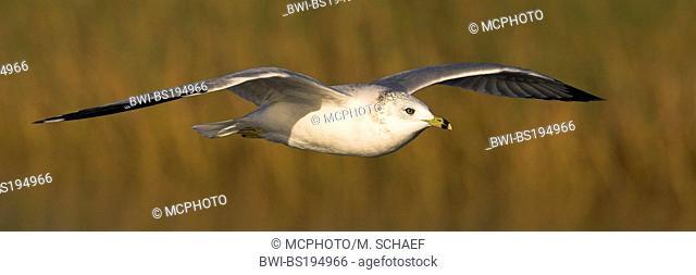 ring-billed gull (Larus delawarensis), flys, USA, Florida