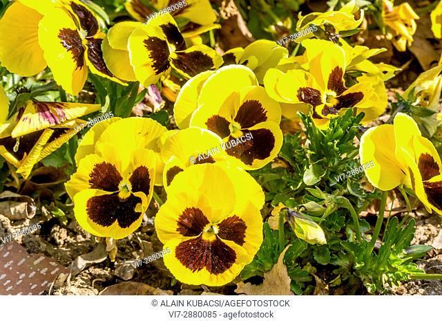 Large-Flowered Pansy / Viola x wittrockiana Matrix Golden Yellow Blotch