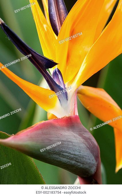 Strelitzia, bird of paradise flower, crane flower