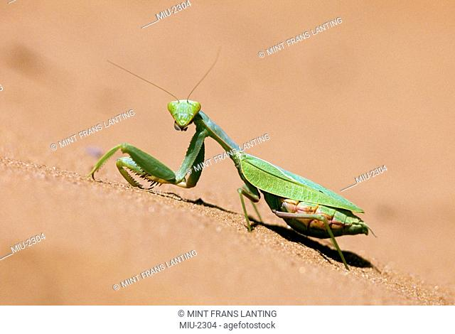 Praying mantis, Mantodea sp., Kalahari desert, Botswana