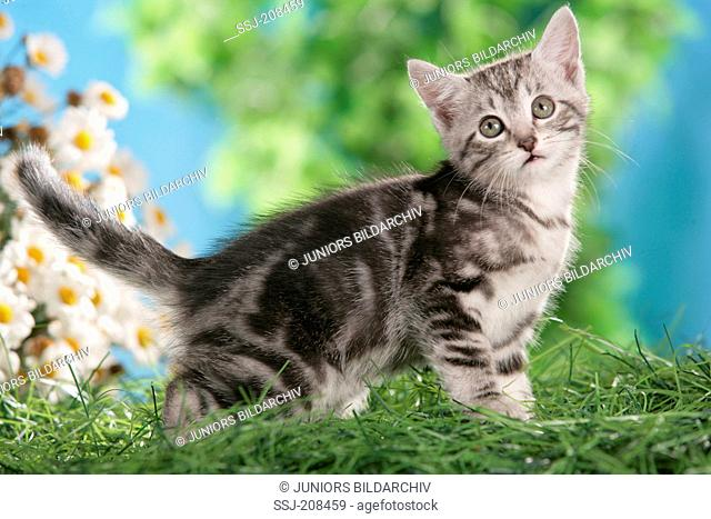 Domestic cat. Tabby kitten on grass with flowers in background. Germany