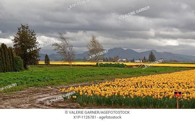 This beautiful landscape scene shows a stormy spring day with a very large daffodil field, taken at LaConner, Washington Big, gray