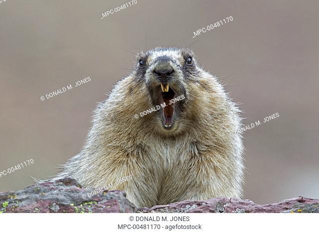 Yellow-bellied Marmot (Marmota flaviventris) alarm calling, Glacier National Park, Montana