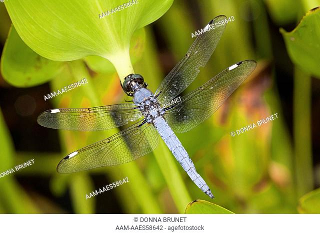 Male Spangled Skimmer (Libellula cyanea) clings to a pickerelweed leaf (Pontederia cordata) growing in the shallow water at the edge of a pond