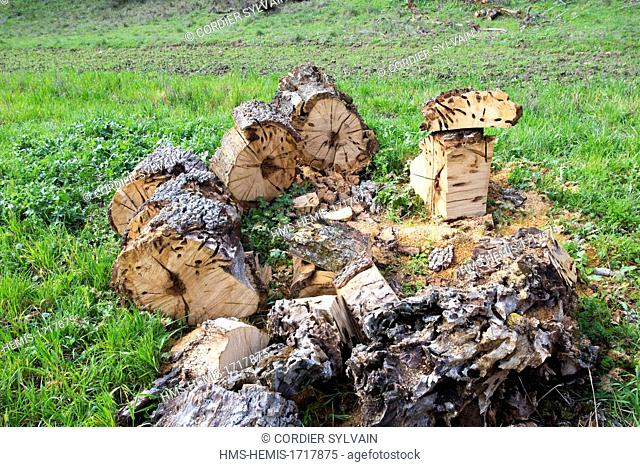 Spain , Castilla La Mancha , surroundings of Guadalajara , Sessile oak ( Quercus petraea ) ou ( Quercus robur ) attack by larvae of great capricorn beetle