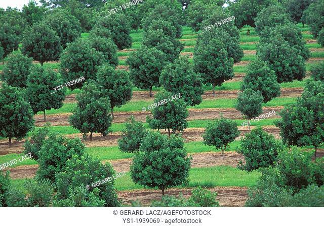 Orchard in Australia