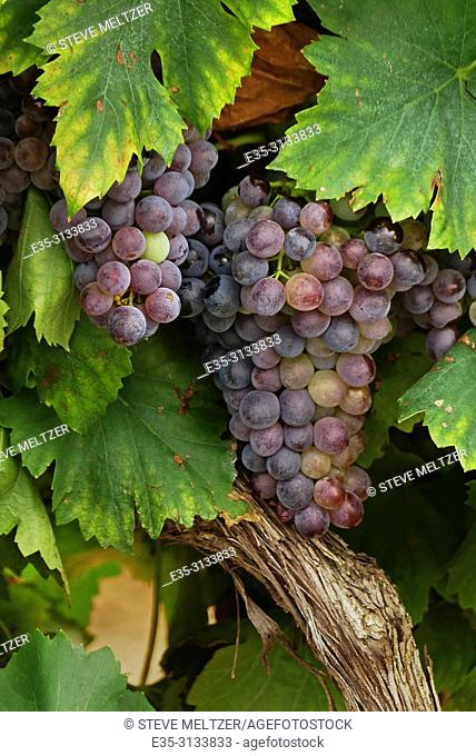 A vineyard in Tourbes, France with grenache noir grapes ready to harvest