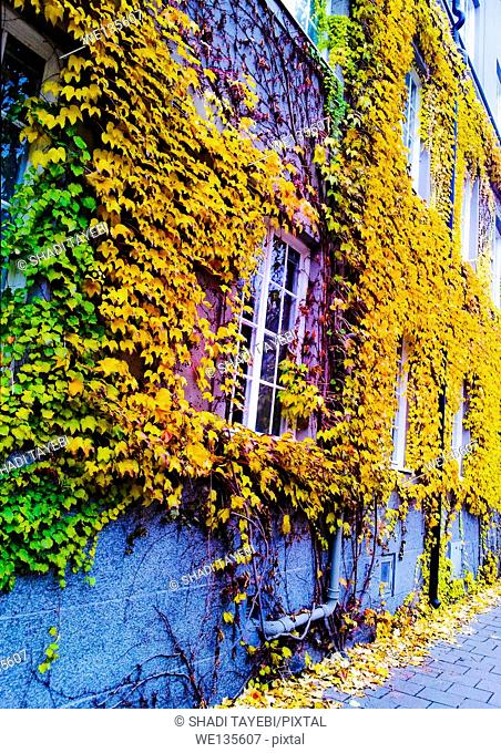 Yellow / orange leaves on the wall of a house in Autumn in Sweden