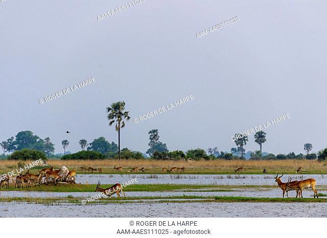 Red Lechwe or Zambezi Lechwe (Kobus leche) amongst Real Fan Palms or Northern iLala Palms (Hyphaene benguellensis). Selinda Camp