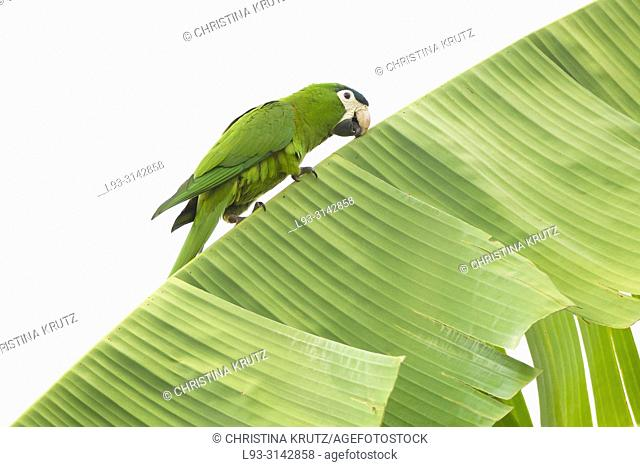 Red-shouldered macaw (Diopsittaca nobilis) or Hahn's Macaw on banana tree, Pantanal, Brazil