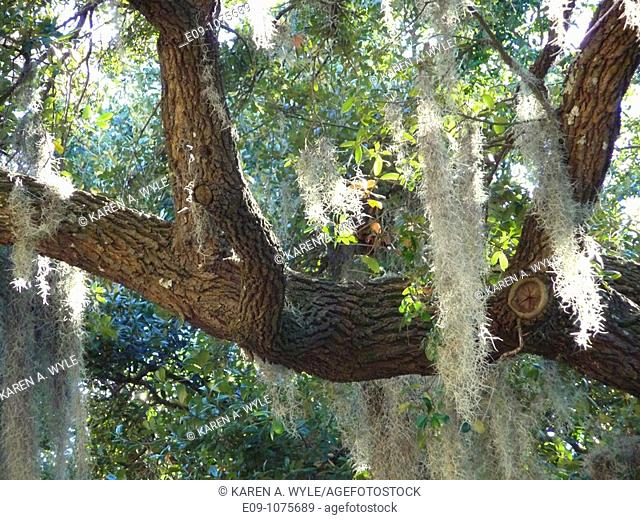 tree with Spanish moss, some sunlit, Madison Square, Savannah, Georgia