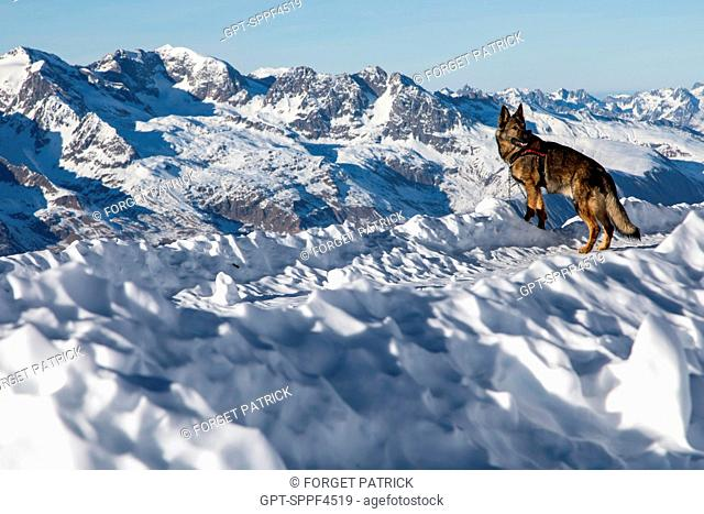 SOLENE FARRE FROM LA PLAGNE AND HER GERMAN SHEPHERD ON A LEASH, REPORTING ON AVALANCHE DOG HANDLERS, TRAINING ORGANIZED BY THE ANENA WITH THE APPROVAL OF THE...