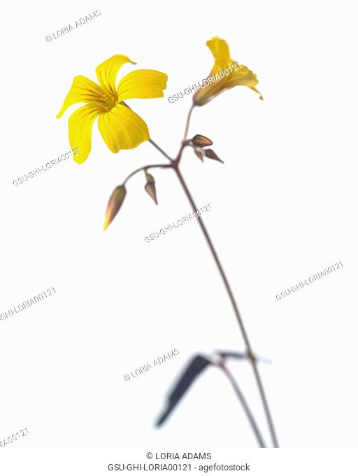 Yellow Flower against White Background