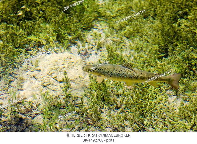 Rainbow Trout (Oncorhynchus mykiss), Kreuzteich, pond, Tragoess, Styria, Austria, Europe