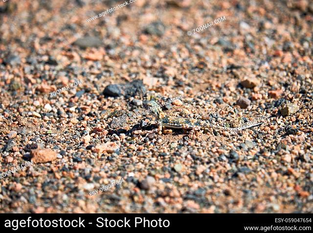 Toad-headed agamas Phrynocephalus in natural environment of mongolian desert sits on gravel in desert. Western Mongolia