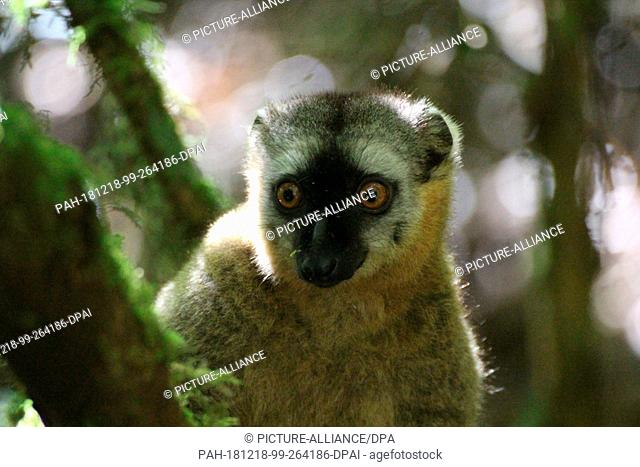 27 August 2018, Madagascar, -: in Lemur of the species Rotstirnmaki (Eulemur rufifrons) sits in a tree in the Ranomafana National Park in southeast Madagascar
