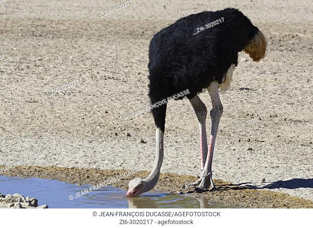South African ostrich (Struthio camelus australis), adult male drinking at a waterhole, Kgalagadi Transfrontier Park, Northern Cape, South Africa, Africa