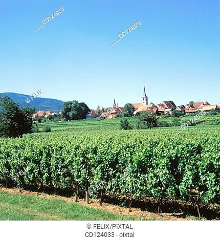 Mittelwihr. Alsatian Wine Road. France
