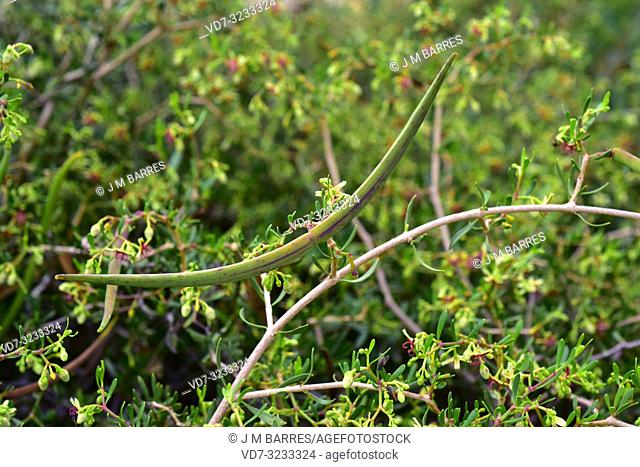 Cornical (Periploca laevigata or Periploca angustifolia) is an evergreen shrub native to southeastern Spain, Canary Islands and north Africa