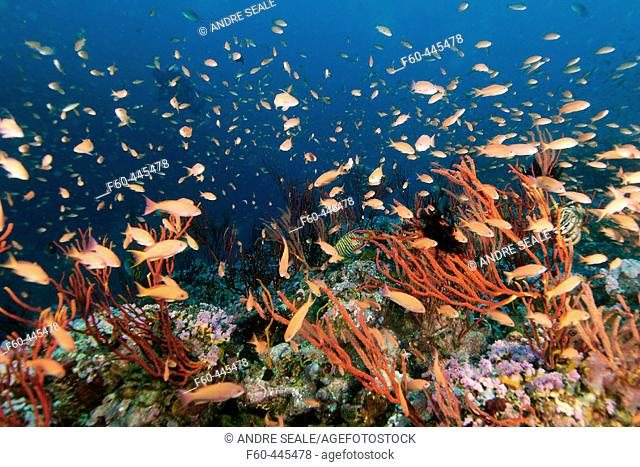 Thousands of scalefin anthias, Pseudanthias squamipinnis, hovering over colonies of red whip coral, Ellisella sp., Canyons, Puerto Galera, Mindoro, Philippines
