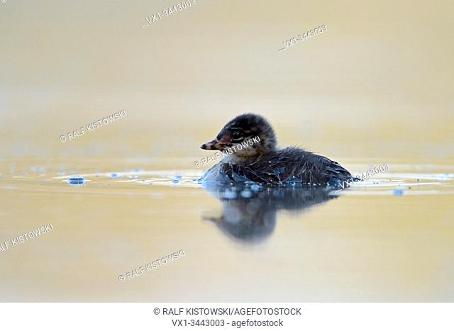 Offspring / Fledgling of Black-necked Grebe / Eared Grebe / Schwarzhalstaucher (Podiceps nigricollis).