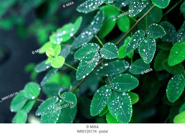 Water droplets seen on green leaves