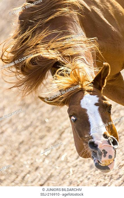 Arab Horse. Chestnut stallion shaking its mane, seen from above. Tunisia