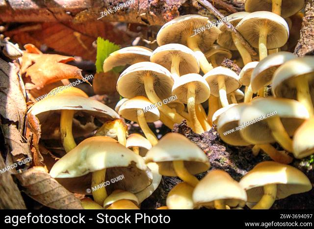 Photographic representation of a group of mushrooms produced in autumn from the undergrowth