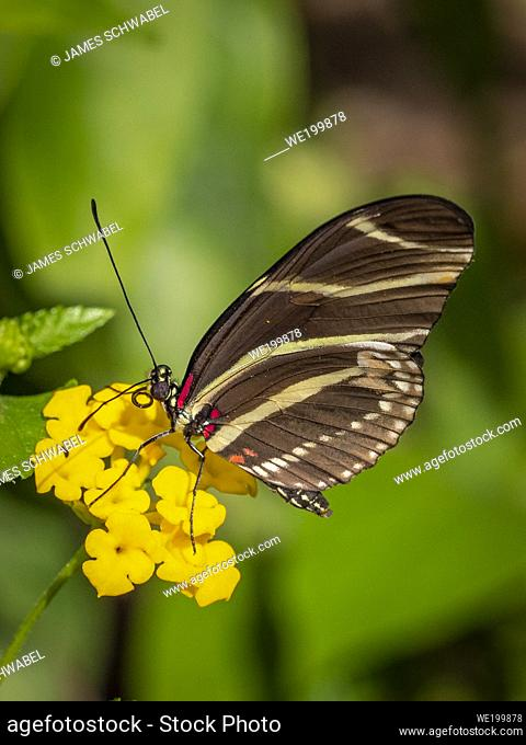 Closeup of a Zebra longwing or zebra heliconian (Heliconius charitonius) Butterfly the Florida state butterfly on a yellow flower
