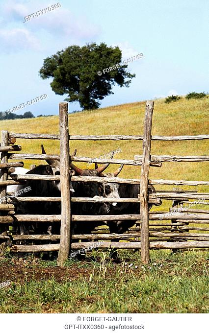 MAREMMA CATTLE FARM, AGRO-TOURISM, AGRITURISMO AIA DELLA COLONNA IN THE HIGH MAREMMA, 10 KM FROM SATURNIA, USI, MAREMMA, TUSCANY, ITALY