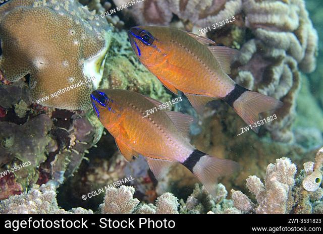 Pair of Ringtailed Cardinalfish (Ostorhinchus aureus), Laha dive site, Ambon, Maluku, Indonesia, Banda Sea